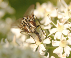 Fly on Hogweed