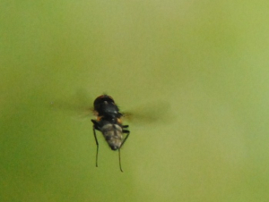 Hovering fly 3