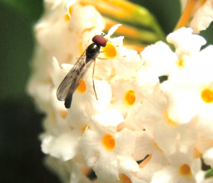 Hoverfly on Buddleia
