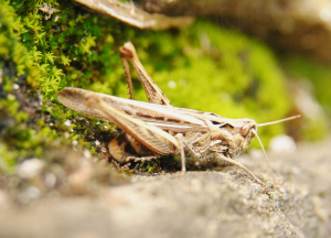 Grasshoppers on an old wall (cont.)*