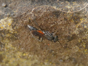 Hymenopteran actively exploring an old wall