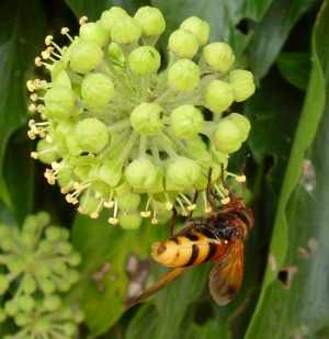 Hoverfly on ivy flowers