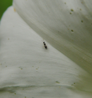 Small wasp on a bindweed flower