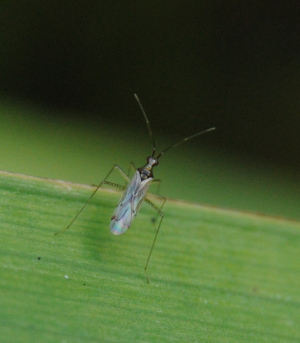 Bug with long legs