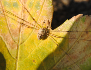 Harvestman on top of a wall