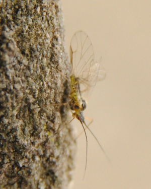 Aphid under Sycamore tree