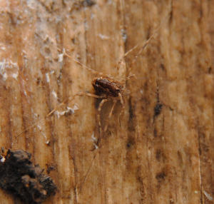 Harvestman under a board