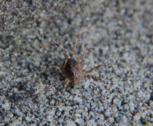 Harvestman below a stone