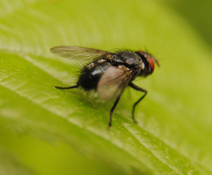 Very hairy fly