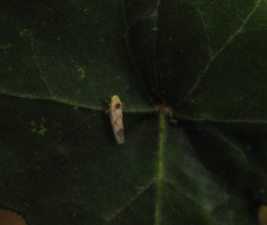 Active leafhopper