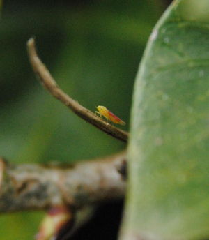 Leafhopper in a bank of ivy