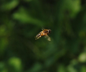 Hovering hoverfly(hoverflies?)