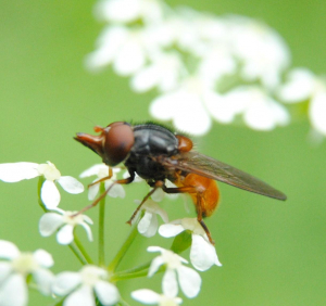 Fly perched on Cow Parsley
