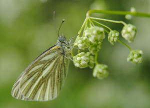 Butterfly suspended from cow parsley