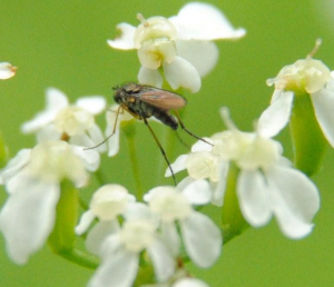 Fly (2) on Cow Parsley