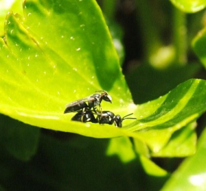 Hymenopterans mating in an ivy bank