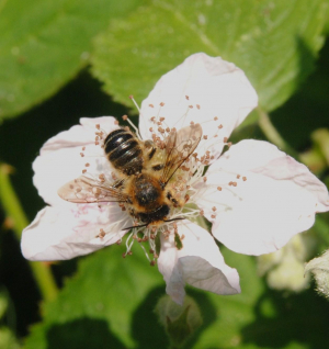 Bee on a bramble flower