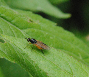 Fly or sawfly?