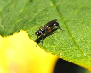 Elongated fly