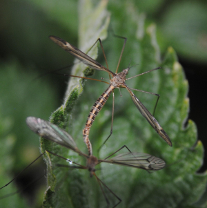 Mating crane flies