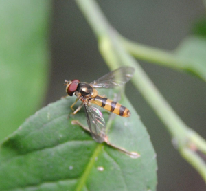 Small banded hoverfly