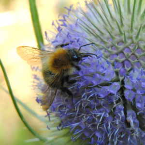 Bumblebee on a Teasel flower