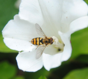 Hoverfly on a Bindweed flower
