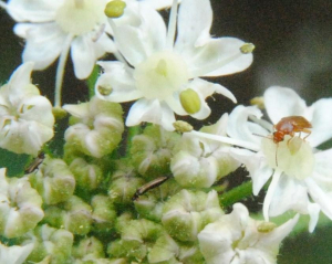 Small creatures on Hogweed inflorescence