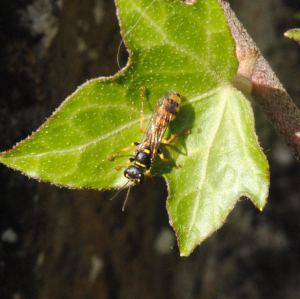 Wasp on wall vegetation