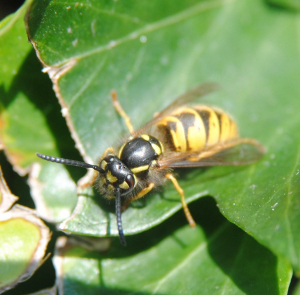 Wasp on an ivy leaf