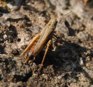 Grasshopper – preparing to lay eggs in an old wall?