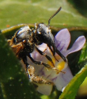 Bee (3) on Ivy-leaved Toadflax