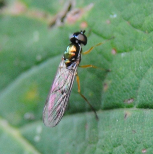 Fly sitting on a Sycamore leaf