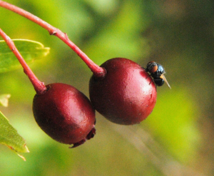 Small fly on a Hawthorn berry