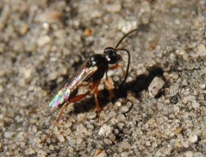 Rather small hymenopteran on a wall