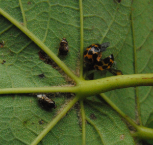 Two bugs (and a Harlequin) under a Sycamore leaf