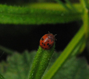 Small ladybird in a field
