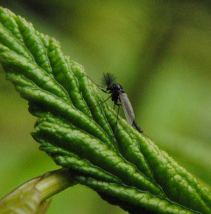 Small fly on a leaf of Meadowsweet by a pond