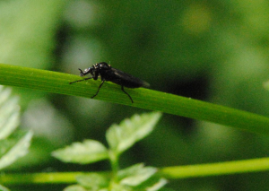 Insect on a stem of Cow Parsley (2)