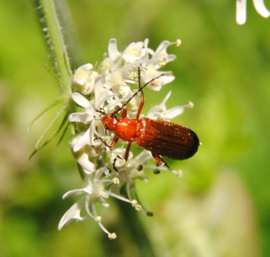 Beetle on a Hogweed inflorescence