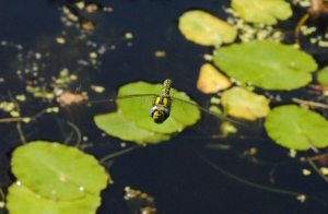 Dragonfly(ies) in flight above a pond (cont.)