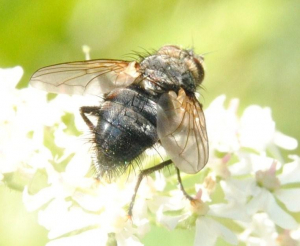 Hairy fly on Hogweed inflorescence