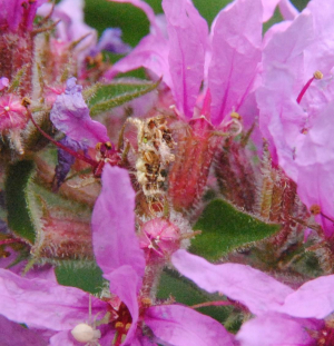 Inconspicuous creature among flowers of Purple Loosestrife