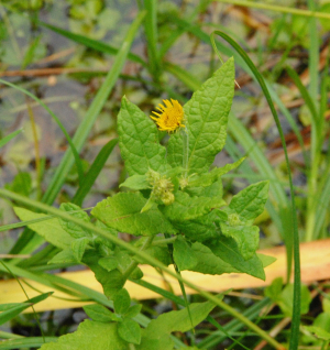 Plant with a yellow flower by a pond