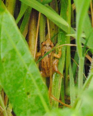 Young frog moving in low vegetation