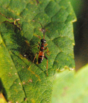 Small wingless hymenopteran active in rough vegetation