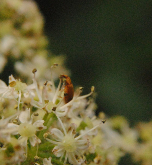 Beetle on a late inflorescence of Hogweed