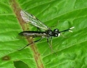 The sawfly Tenthredo livida?