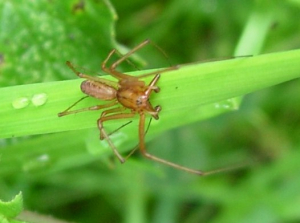 Reddish-brown spider