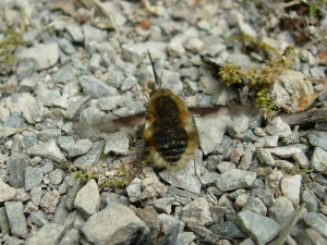 Bee-fly on path surface